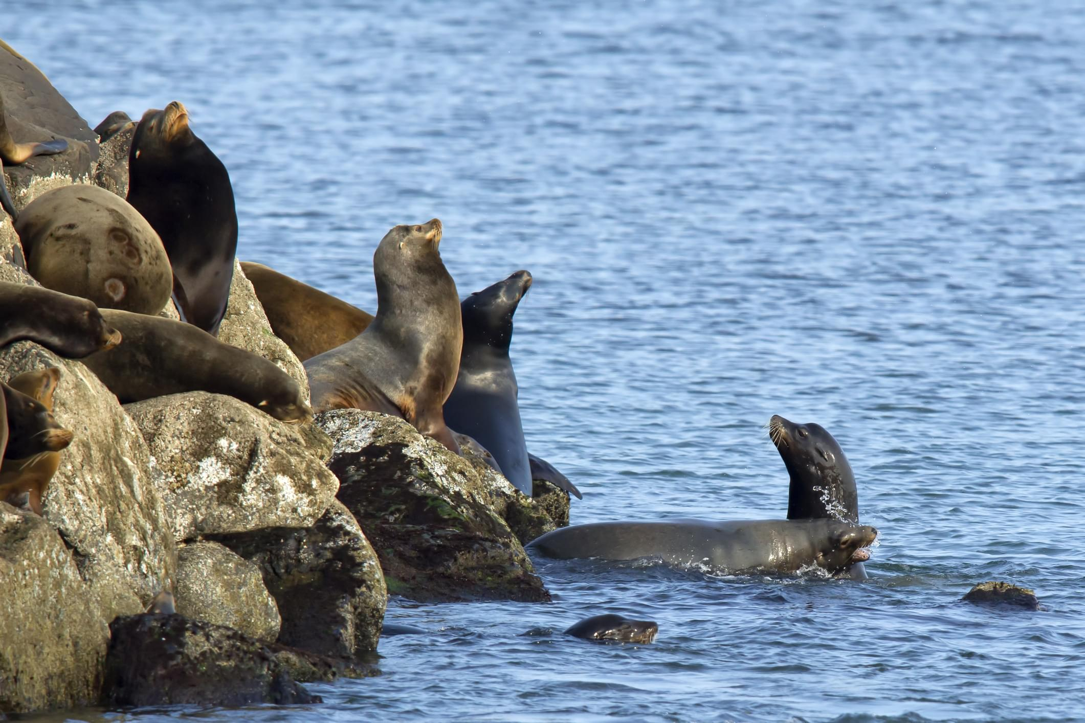 Sea lions sunning themselves on the rock in Florence, Oregon.