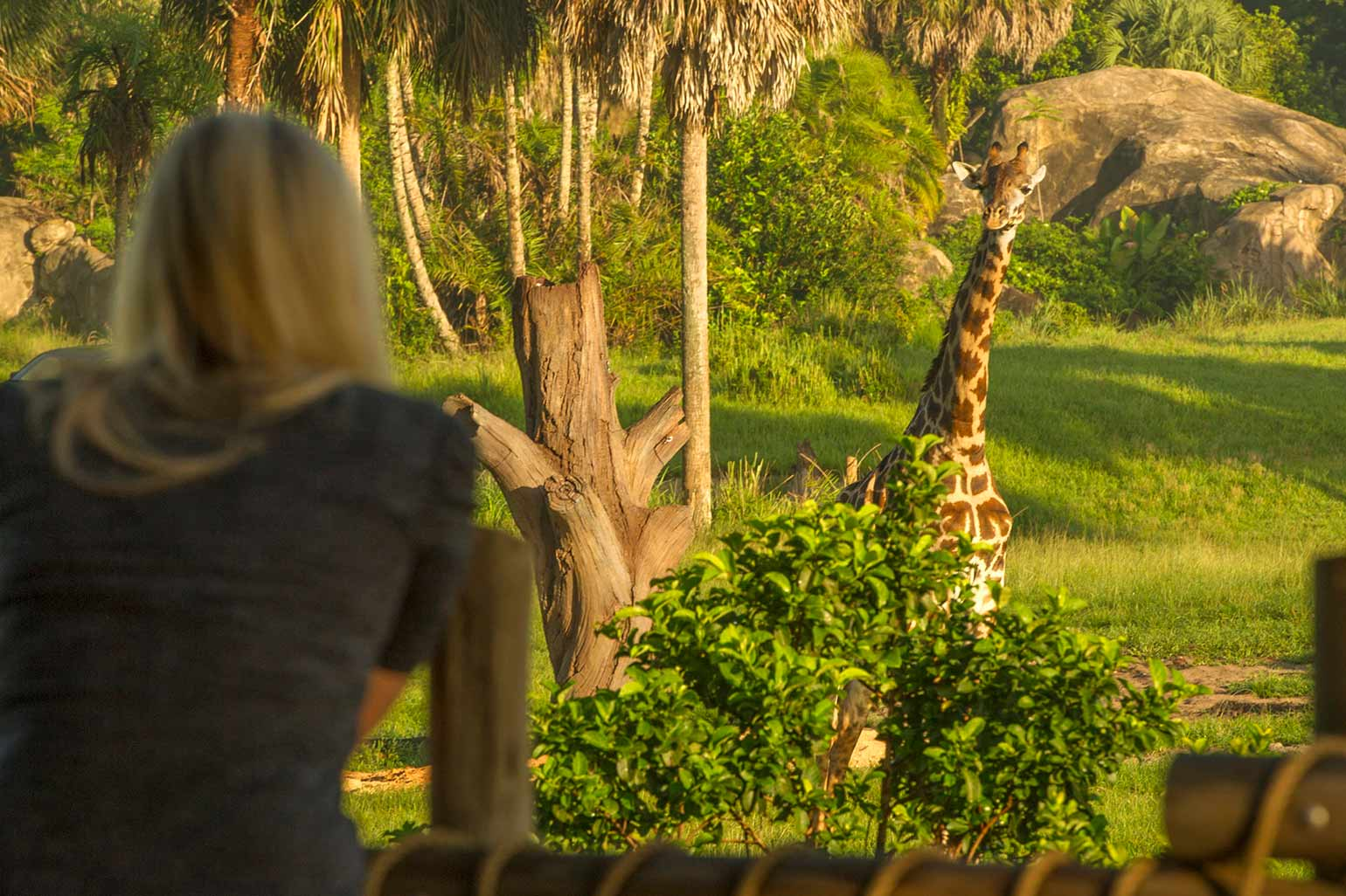 The Tree of Life stands above Disney's Animal Kingdom resort.