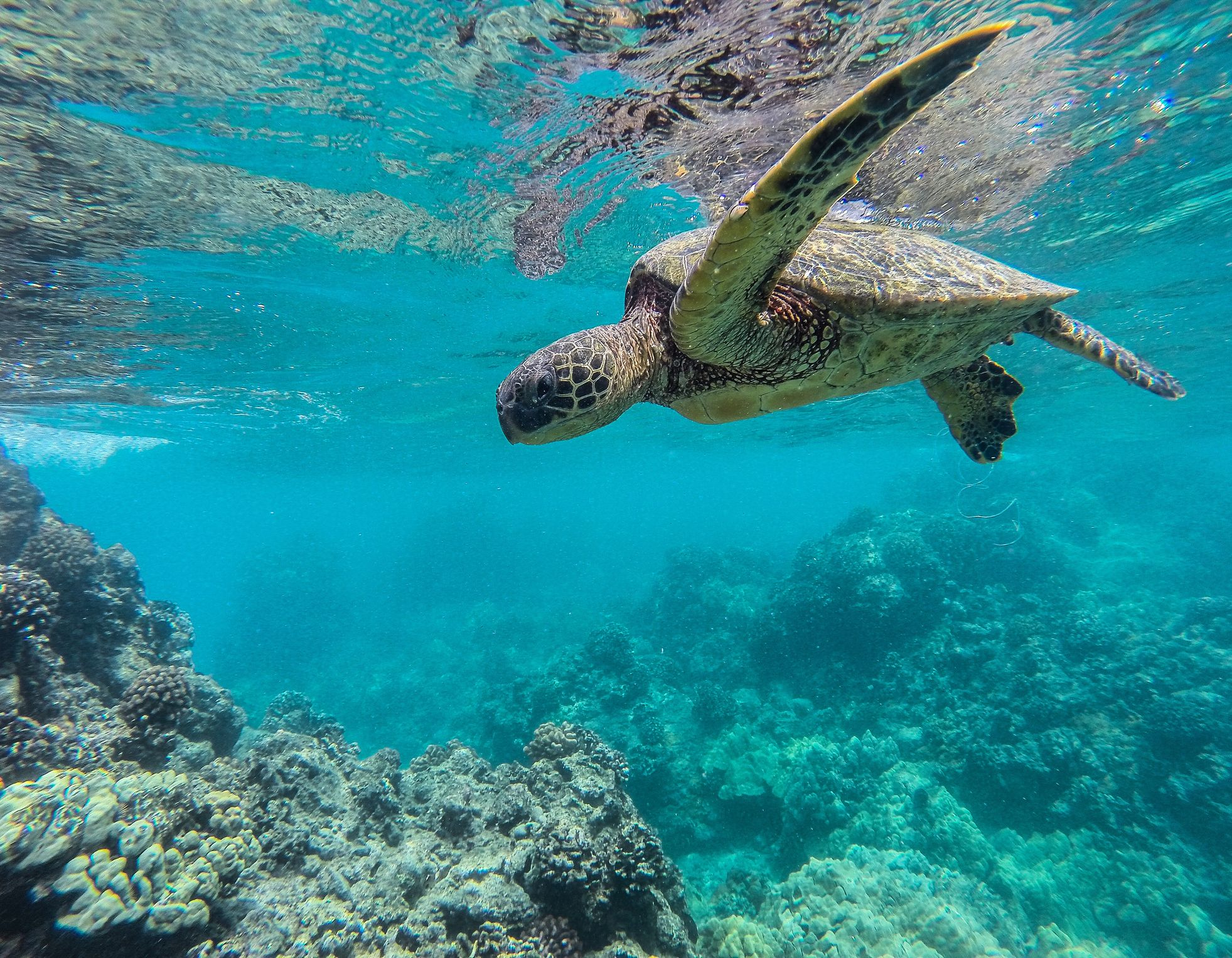 Green sea turtle of Maui