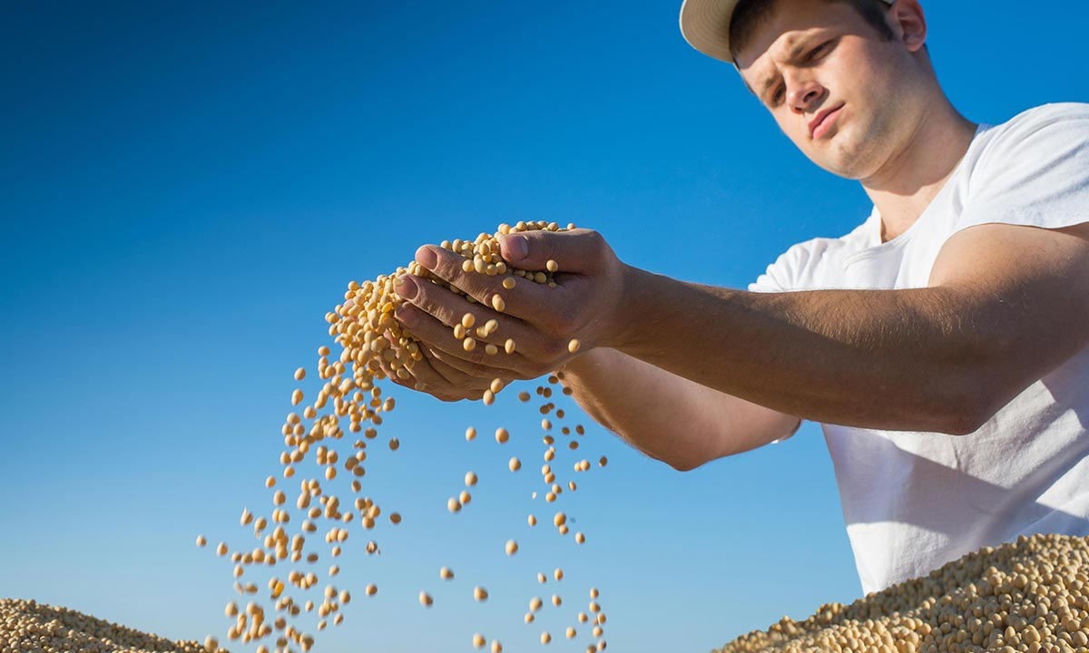 Young Canadian worker holding soy beans after harvest